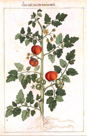 Tomate solanum lycopersicum sh ng f n - Tomate dessin ...